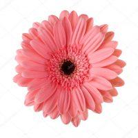depositphotos_11740459 stock photo pink daisy flower isolated on
